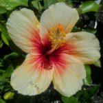Hibiscus Cuban Variety