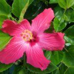 Hibiscus Rosalie - Easy to Grow