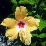 Hibiscus Summer Love