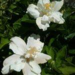 Hibiscus White Kalakaua