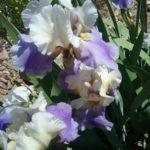 Tall Bearded Iris Planned Treasure
