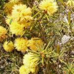 Melaleuca pungens - Australian Native Plant