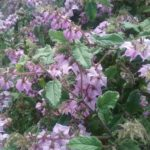 Thomasia purpurea - Australian Native Plant