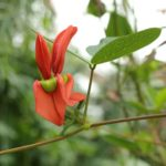 kennedia beckxiana - Australian Native Plant