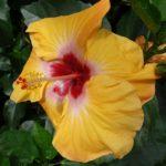 Hibiscus Moonshot
