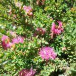 Melaleuca thymifolia Cotton Candy
