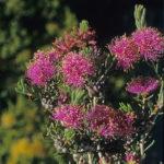 Melaleuca villosisepala - Australian Native Plant