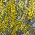 Acacia rigens - Australian Native Plant