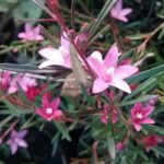 Crowea Southern Stars - Australian Native Plant