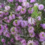 Melaleuca carrii - Australian Native Plant