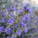 Dampiera purpurea - Australian Native Plant