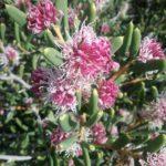Hakea clavata - Australian Native Plant