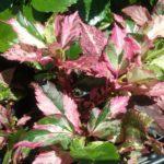 Hibiscus Rose Flake foliage
