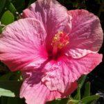 Hibiscus Yvonne McKinless