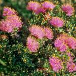 Melaleuca tuberculata var macrophylla - Australian Native Plant