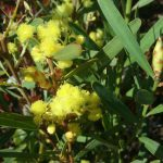 Acacia iteaphylla - Australian Native Plant