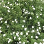Alyogyne huegelii white - Australian Native Plant
