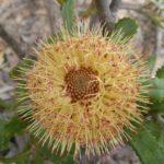 Banksia ornata - Australian Native Plant