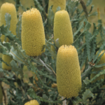 Banksia pilostylis - Australian Native Plant