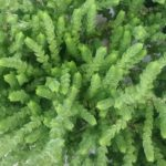 Crassula muscosa fine leaf form