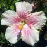 Hibiscus Pink Rays