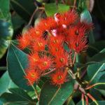 Eucalyptus ficifolia - Australian Native Plant