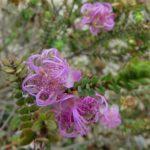 Melaleuca pulchella - Australian Native Plant