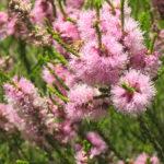 Melaleuca huegelii pink - Australian Native Plant