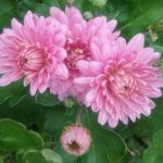 Chrysanthemum Little Bob - Small Perennial Plant