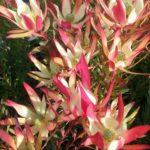 Leucadendron Jack Harre