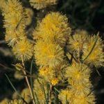 Melaleuca concreta - Australian Native Plant