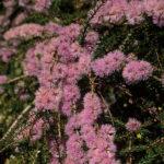 Melaleuca depauperata - Australian Native Plant