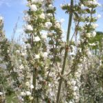 Salvia apiana - Perennial Plant