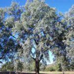 Eucalyptus melanophloia - Australian Native Gum Tree