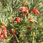 Grevillea disjuncta - Australian Native Plant