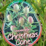 Leucadendron Christmas Cone