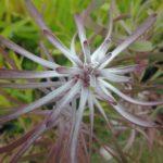 Leucadendron Purple Haze