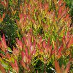 Leucadendron Silvan Red