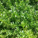 Myoporum parvifolium broad leaf form