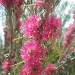 Melaleuca Georgiana Molloy - Australian Native Plant