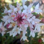 Pimelea sylvestris - Australian Native Plant