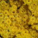 Verticordia acerosa - Australian Native Plant