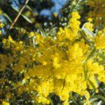 Acacia covenyi - Australian Native Plant