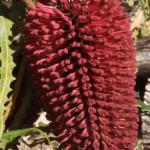 Banksia caleyi - Australian Native Plant