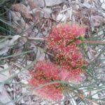 Callistemon teretifolius - Australian Native Plant