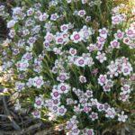 Dianthus Arctic Fire - Perennial Plant
