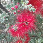Kunzea baxteri X - Australian Native Plant