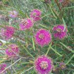 Melaleuca filifolia - Australian Native Plant