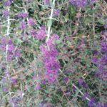 Melaleuca violacea - Australian Native Plant
