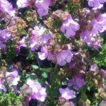 Prostanthera deticulata - Australian Native Plant
